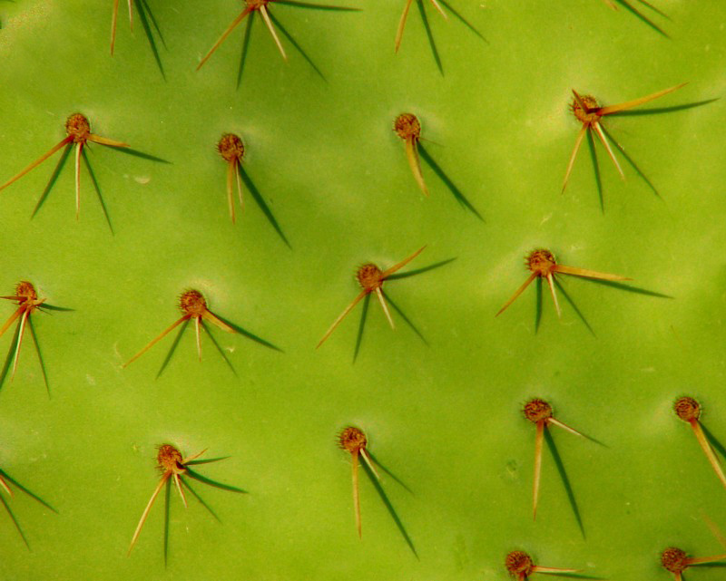 Piquants de cactus