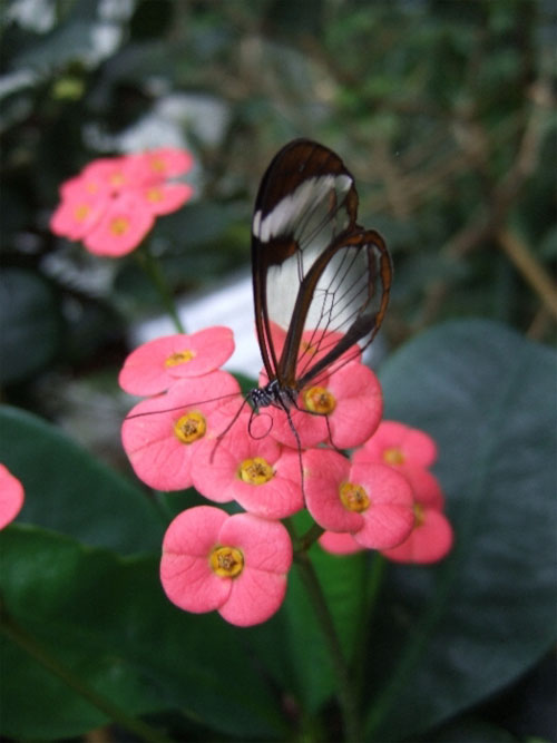glasswing06.jpg