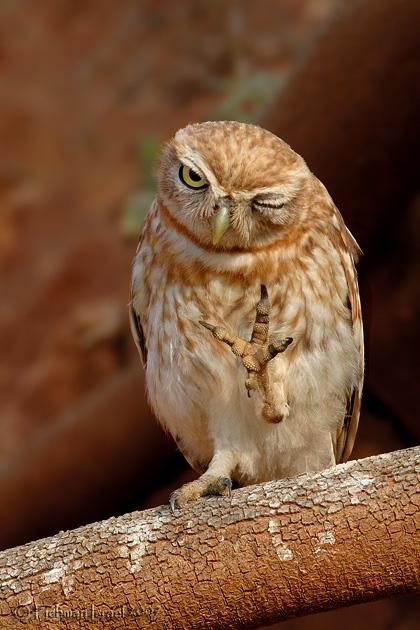 Little Owl .
