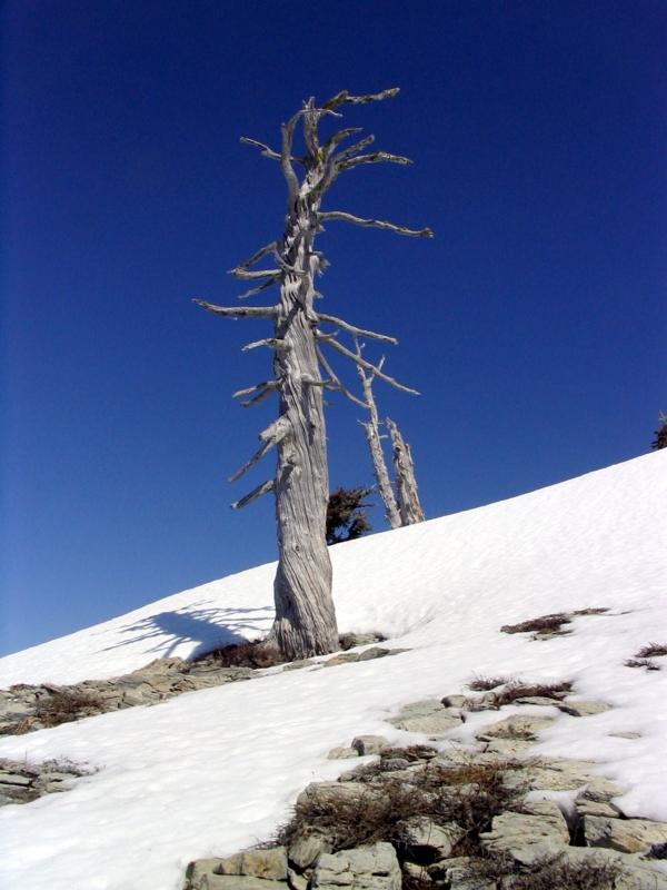 Foxtail pine snag on summit