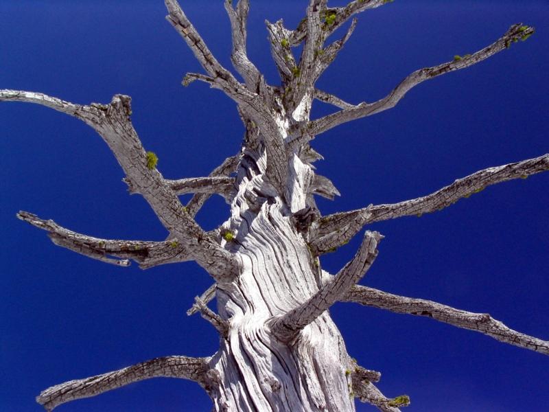 Foxtail pine sculpture