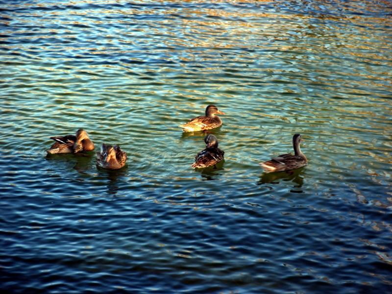 Quacks on Middle Velma Lake
