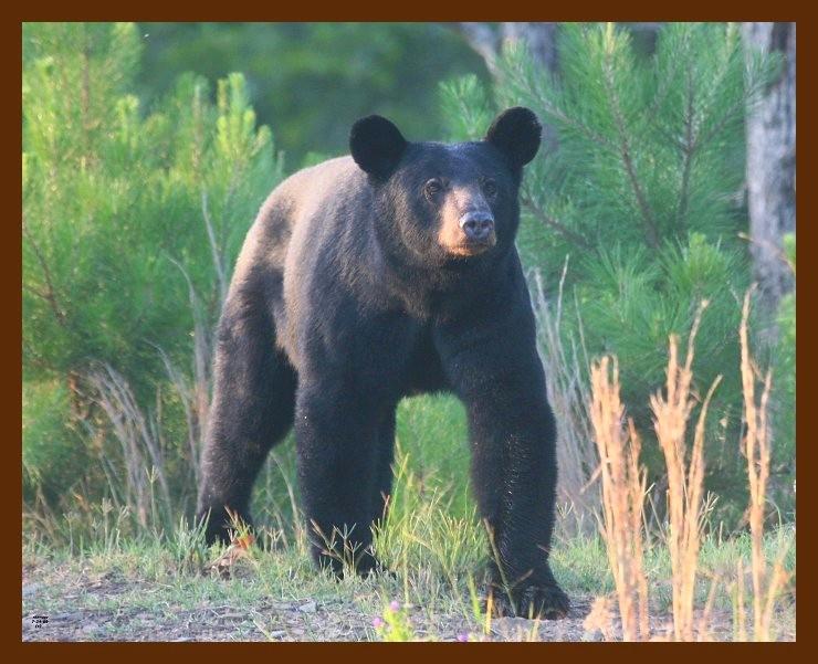 black bear 7-24-09 4d286b.JPG
