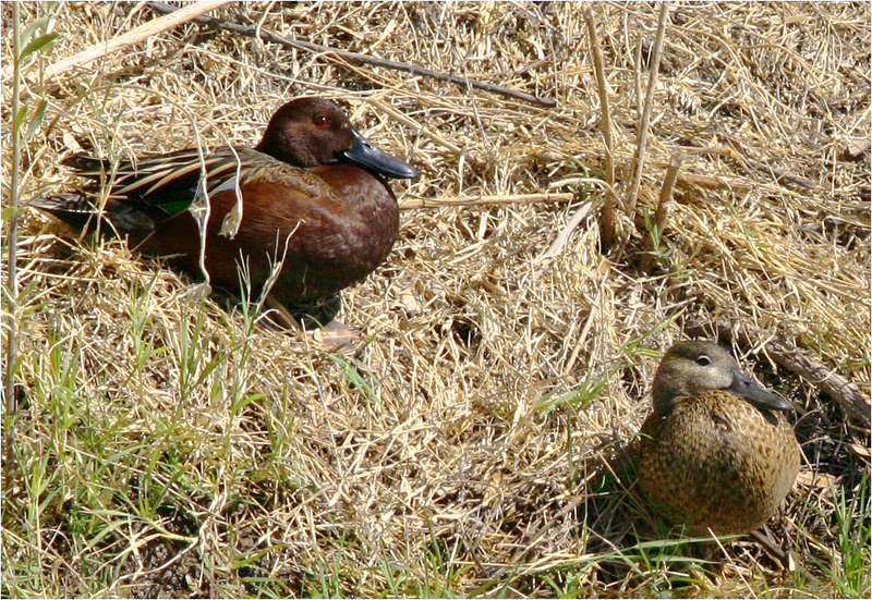 Cinnamon Teals - male and  female