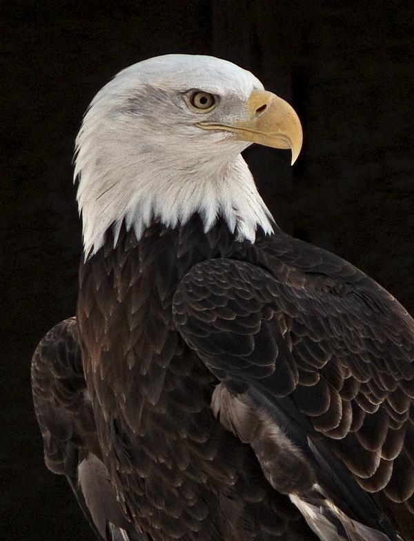 e Bald EagleCROP   2 FZ8 RAW ps cs4 TBZ  P1030790.jpg