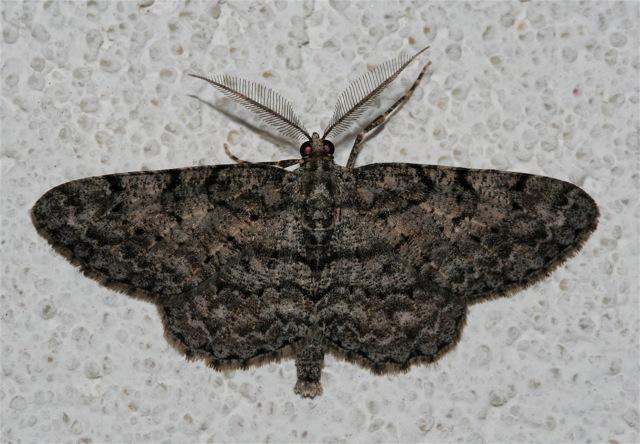.Porcelain Gray Moth, Protoboarmia porcelaria, 6598