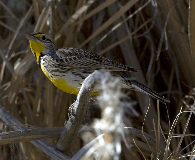 Western Meadowlark at Furnace Creek