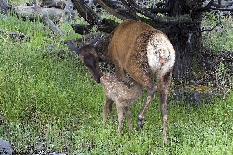 New born Elk