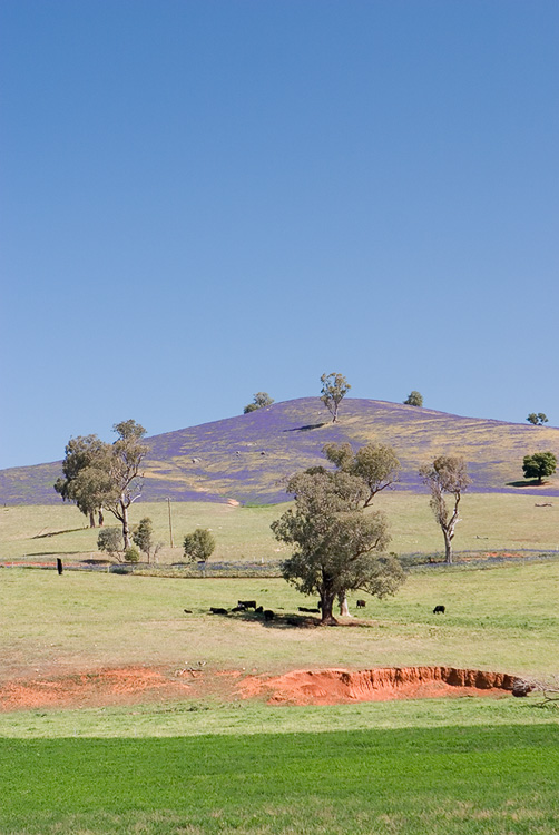 A Purple Hill