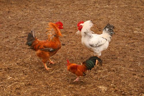 Chickens in Nerja