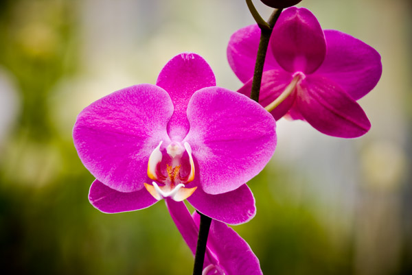 Orchid 18243