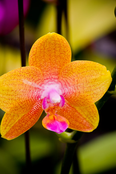 Orchid 18299