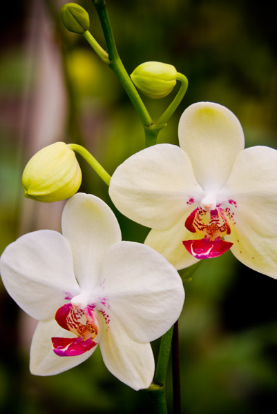 Orchid 18317