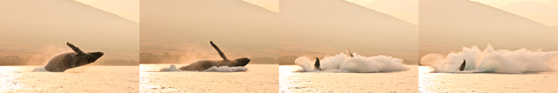 Humpback Whale - Breach 07156-59 humpback whale breach