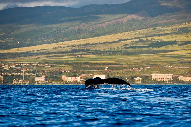 tail 15717 humpback whale tai off Maui