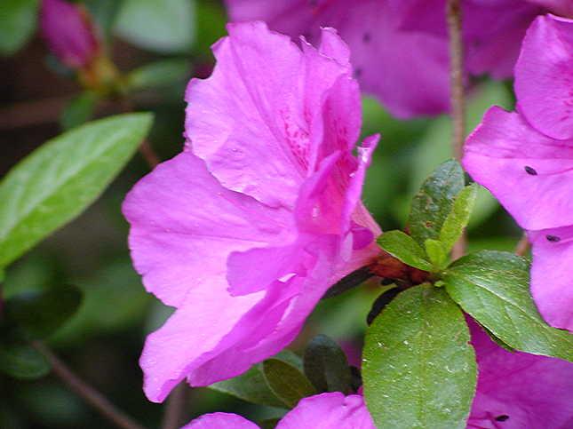Harris Purple