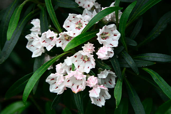 <i>Kalmia latifolia</i> Willowcrest