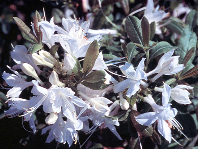 Fragrant Star