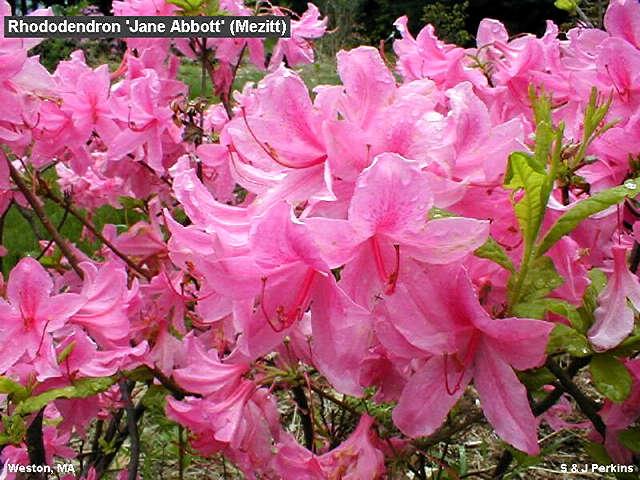 Jane Abbott Pink