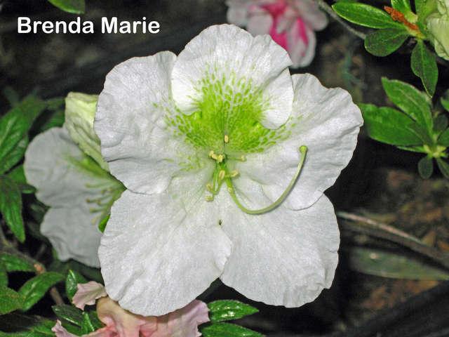 Brenda Marie