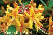 KennellsGold225fw.jpg