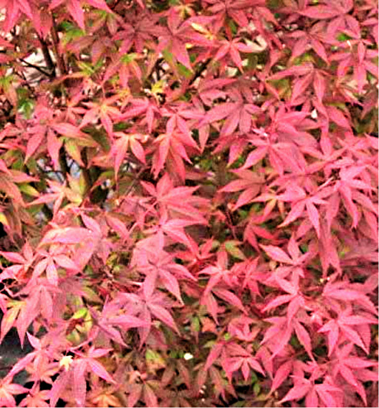 Acer palmatum Englishtown
