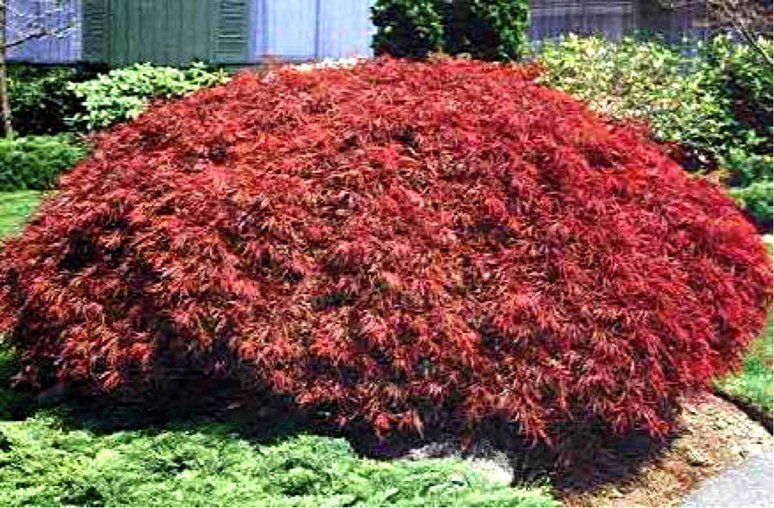 Acer palmatum Ever Red
