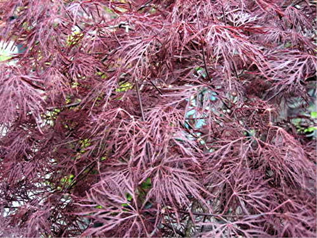 Acer palmatum Ruby Lace