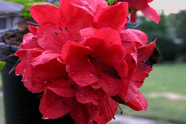Coronado Red