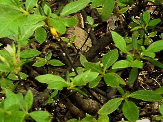 azalea bark scale