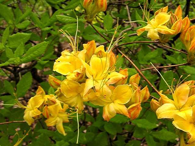 <i>calendulaceum</i>