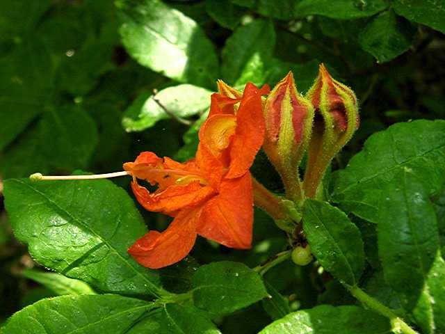 <i>calendulaceum</i> double