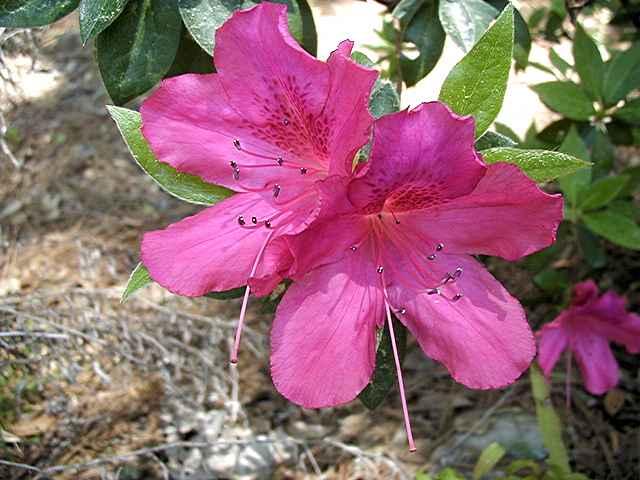 Pink Formosum