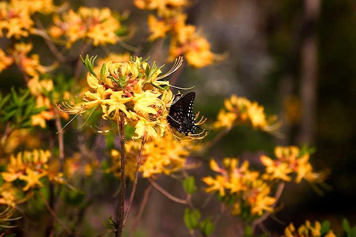 azalea and butterfly M Opp.jpg