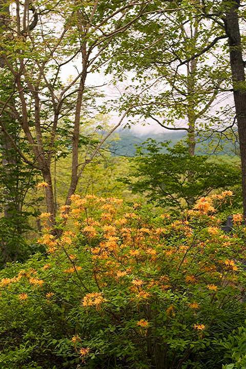 azalea and mountains M Opp.jpg
