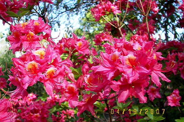 Patsys Pink