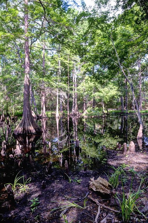 MER_4633-35 Cypress Swamp: Mercer Arboetum