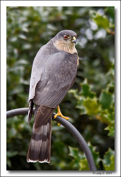 Sharp-shinned Hawk.