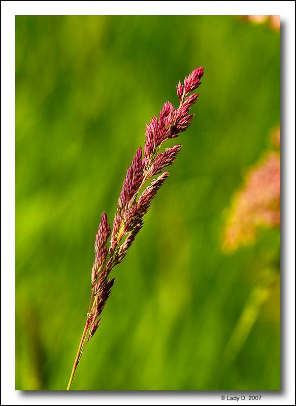 Wild Red Grass
