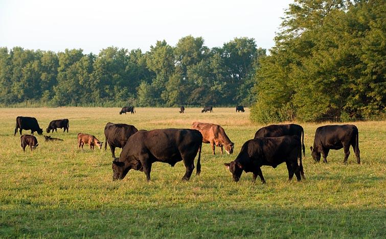 Cattle, Morning light