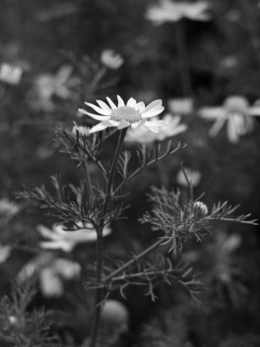 Yellow flower, IRd