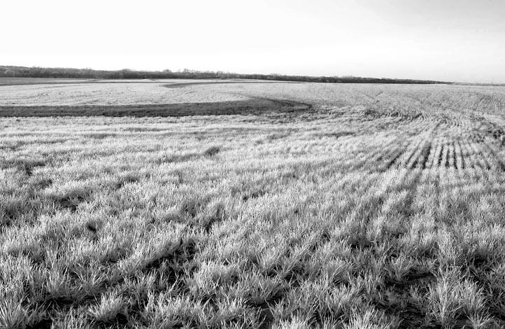 Early Wheat Field - IR.jpg