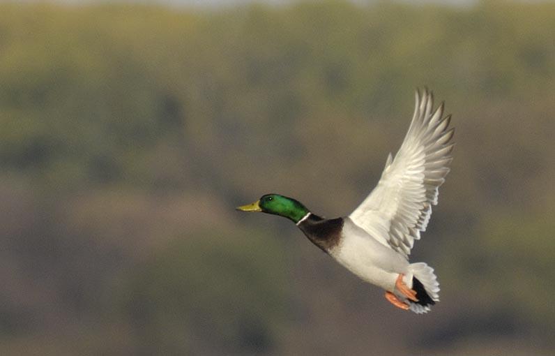 Quack !!