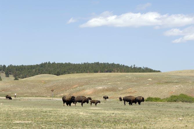 Buffalo Herd, Custer SD