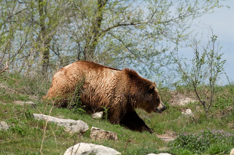 Bear (zoo image)