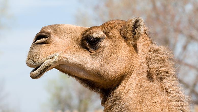 Camel (zoo image)