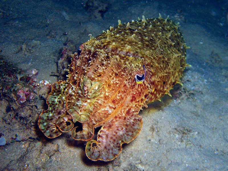 Angry Cuttlefish