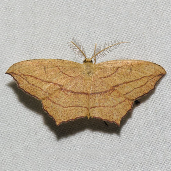 7147  Cross-lined Wave - Timandra amaturaria