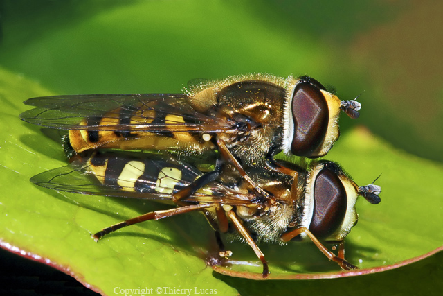 Hover flies reproducing on a sheet of ivy