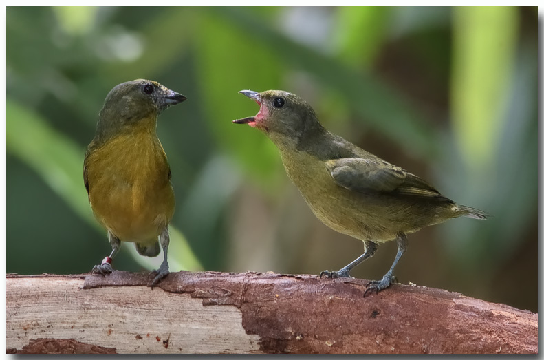 Violaceous Euphonia - Female (left) and juvenile